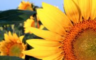 Sunflower Wallpaper 35 Background Wallpaper