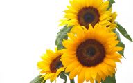 Sunflower Wallpaper 37 Free Hd Wallpaper