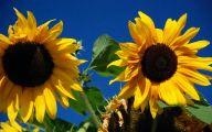 Sunflower Wallpaper 38 Free Wallpaper