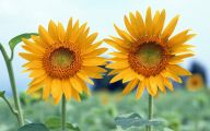 Sunflower Wallpaper 4 Cool Hd Wallpaper