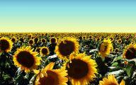 Sunflower Wallpaper 40 Hd Wallpaper