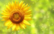 Sunflower Wallpaper 46 Cool Wallpaper