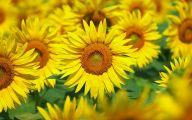 Sunflower Wallpaper 49 Cool Wallpaper