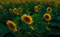 Sunflower Wallpaper 50 Hd Wallpaper