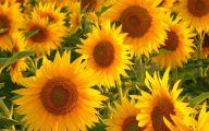 Sunflower Wallpaper 7 Widescreen Wallpaper