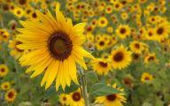Sunflower Wallpaper 9 Cool Wallpaper