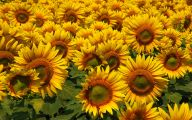 Sunflowers 13 Cool Hd Wallpaper