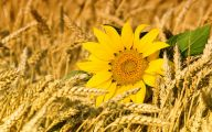 Sunflowers 15 Cool Hd Wallpaper