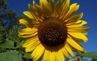 Sunflowers 16 Free Hd Wallpaper