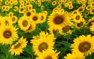 Sunflowers 19 Free Hd Wallpaper