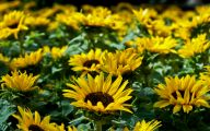 Sunflowers 20 Free Hd Wallpaper