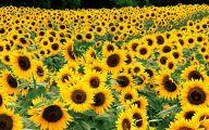 Sunflowers 21 Background