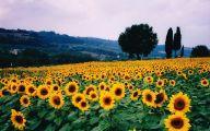 Sunflowers 3 Cool Wallpaper