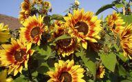 Sunflowers 8 Wide Wallpaper
