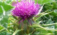 Thistle 1 Cool Wallpaper