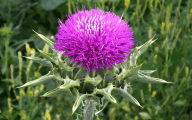 Thistle 17 Cool Wallpaper