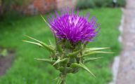 Thistle 2 Free Hd Wallpaper