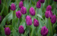 Tulip Purple 2 Background