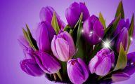 Tulip Purple 27 Free Hd Wallpaper