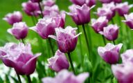 Tulip Purple 3 Widescreen Wallpaper