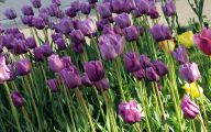 Tulip Purple 31 Free Hd Wallpaper