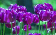 Tulip Purple 32 Cool Wallpaper