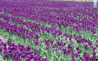 Tulip Purple 36 Cool Wallpaper
