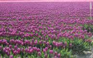 Tulip Purple 49 Desktop Wallpaper