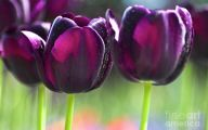 Tulip Purple 57 Wide Wallpaper