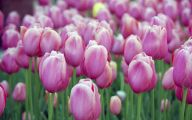 Tulip Purple Wallpaper 12 Desktop Wallpaper