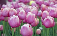Tulip Purple Wallpaper 15 Widescreen Wallpaper