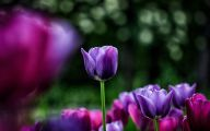 Tulip Purple Wallpaper 20 High Resolution Wallpaper