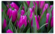 Tulip Purple Wallpaper 5 Desktop Wallpaper