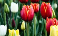 Tulip Wallpaper 10 Desktop Wallpaper