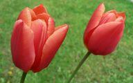 Tulip Wallpaper 20 Free Wallpaper