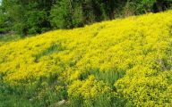 Weed With Yellow Flowers 14 Wide Wallpaper