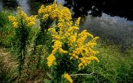 Weed With Yellow Flowers 17 Widescreen Wallpaper