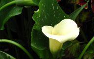 White Calla Lily 25 High Resolution Wallpaper