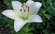 White Lily 14 Desktop Wallpaper