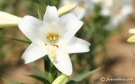 White Lily 26 High Resolution Wallpaper