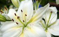 White Lily 27 Desktop Wallpaper
