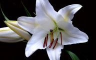 White Lily 34 Free Wallpaper