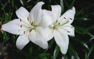 White Lily 35 Wide Wallpaper