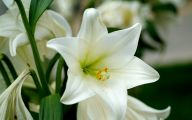 White Lily 8 Desktop Background