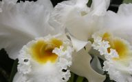 White Orchid 15 Free Hd Wallpaper