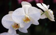 White Orchid 16 High Resolution Wallpaper