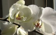 White Orchid 18 Background Wallpaper