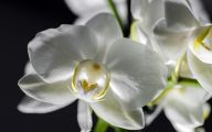 White Orchid 29 Desktop Wallpaper
