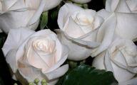 White Rose 33 Wide Wallpaper