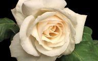 White Rose 38 Cool Hd Wallpaper